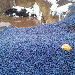 В Молдове некоторые фермеры избавляются от сливы, так как не видят возможности её реализовать