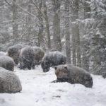В Карпатах из-за тёплой погоды не могут уснуть медведи.